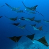 SCHOOL OF EAGLE  RAY