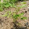 トマトの実を植えたその後の経過☆すくすく育ってます