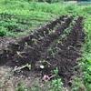 苦労して苗植え終わったサツマイモ