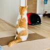 る「ごはんまだかな…」びよーん ランチタイムになると体が伸びる愛猫。