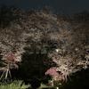 池上周辺の桜いろいろ2021年(後編)
