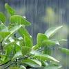 【盆栽ギモン】盆栽は雨にあてていいんですか?