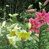 夏の花(2)