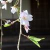 専称寺の枝垂れ桜