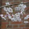 旧陸軍兵器庫の桜