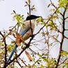 春の野を飛ぶオナガ