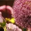 ピンクと紫のお花