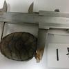 トウブドロガメ、子亀成長記16。12月28日