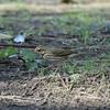 ビンズイ  海沿いの松林にいるオリーブ色の鳥