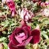 10月~4月が見ごろ!満開のバラが集結!!パーネルのローズガーデン(Rose Garden)