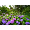 福島市・慈徳寺で紫陽花を見てきた