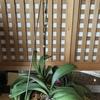 胡蝶蘭に蕾ができました