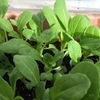 チンゲンサイ栽培(ミニチンゲンサイ)・・・プランター栽培(冬は発芽気温に注意して)・・種蒔き・発芽・即席ミニビニールハウス作成・収穫