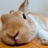【ミニウサギのサスケ先輩】うさぎって本当になつくのか??うさぎとともに暮らす飼い主が解説