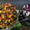 4-9   愛すべき花たち〜ビオラがキレイです!!〜