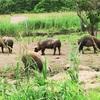 遊ぶた 遊牧舎泰牧場-そこには呼べば駆け寄ってくる豚がいた