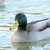 【大阪】大阪市内の水辺で見た水鳥・野鳥の種類を調べました