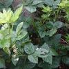 秋には咲かないブラックベリーの花