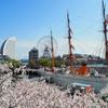 横浜さんぽ10☆今年も桜散歩(2021)