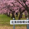 北浅羽桜堤公園の安行寒桜