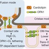 損傷を受けたミトコンドリア選択的融合の分子メカニズム (nature cell biology 2017年6月19日オンライン掲載論文)