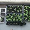 夏野菜の苗、すくすく成長中