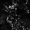 OLYMPUSのコンデジ 「XZ-10」で2017年5月29日までに撮影した写真を紹介します。モノクロのアジサイと雨に濡れたタチアオイです