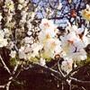 真っ白な梅の花。今週のクラスとセッションのお知らせ。