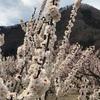 長野県千曲市・あんずの里「あんずまつり」でお花見をしてきました♪