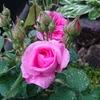 ガートルード・ジキル(バラ)の開花