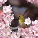 河津桜とメジロちゃん