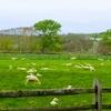 【北海道】えこりん村・牧場の羊たちを見ていると切なくなってくる。