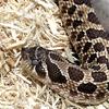 うちのセイブシシバナヘビ