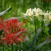 伽耶院の彼岸花 #赤と白