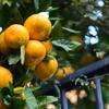 橙色の果物