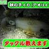 【アオリイカ】秋の子イカ(新子)を狙うタックルのススメ