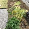 菜の花、引き抜かれる。