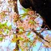【日本の紹介ブログなどでどうぞ】maria'sBox12春宵闇ニ咲ク。