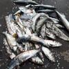 ★留萌で奇跡のニシン爆釣★ 留萌港でクロガシラ狙いで投げ釣りをしていたら…