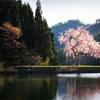 田屋の一本桜を撮ってきた