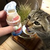 プーチンさんのヤクルトを飲んで腸内フローラ花盛り・免疫力アップ大作戦!! ~猫だって飲んでいいんです!~