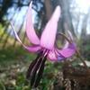 寺井の上の堅香子の花