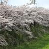 花見 桜 満開 デジイチ 単焦点 城
