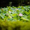 萬福寺で日光浴しつつ、蓮や睡蓮など@2018