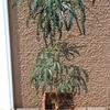 油+ほこりで、ベトベトになった観葉植物をレスキュー