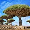 インド洋のガラパゴス!ソコトラ島のおもしろ植物7選