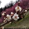 長野市 信州新町のろうかく梅園花まつり