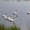 下手賀川の白鳥たち