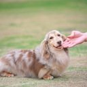 Zeus Kennel 迷你長毛臘腸專業犬舍  www.zeuskennel.net