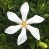 クチナシの花たち